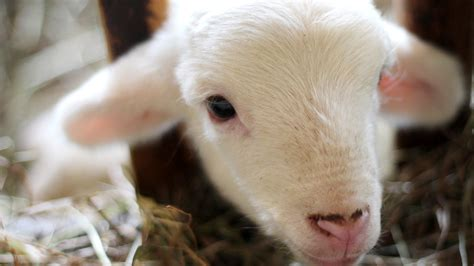 cute white sheep child face hd wallpapers