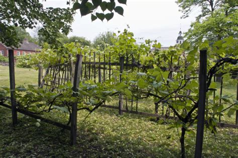 grape vines and broken wooden trellis under redbud tree at old economy village clippix etc