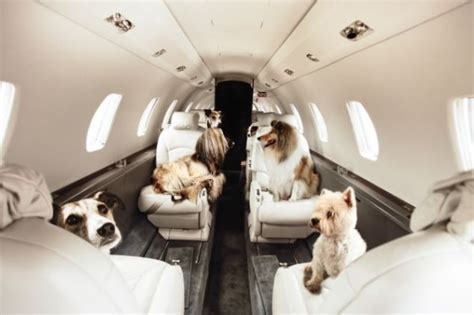 comfort dogs on airplanes everything you need to know about flying with your dog