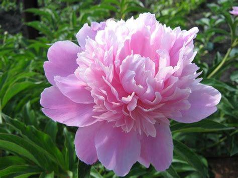 significato di fiore significato fiori rosa linguaggio dei fiori