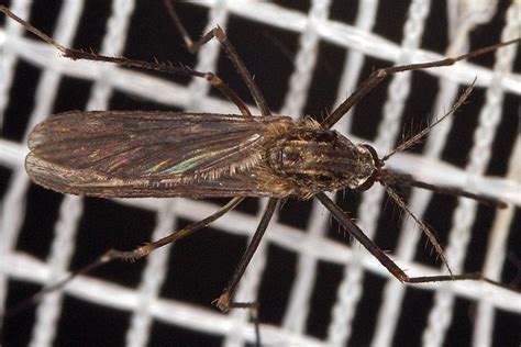 gnitzen in der wohnung fotos diptera spec unbestimmte fliegen und m 252 cken