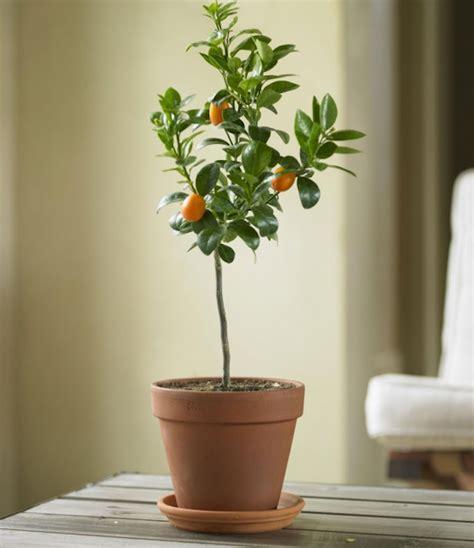 diy potted indoor citrus trees gardenista
