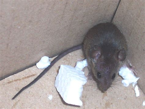 Mouse In The House by Kill Mice With Professional Mouse Poison Barrie Orillia
