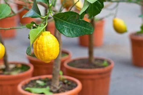 potare il limone in vaso potare limone frutti minori impariamo a potare il limone