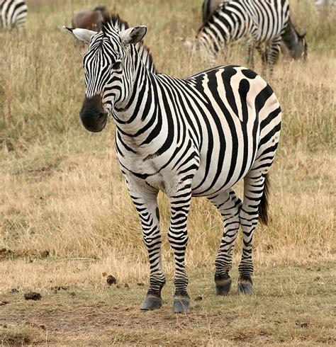 quagga software wikipedia file plains zebra equus quagga png wikimedia commons