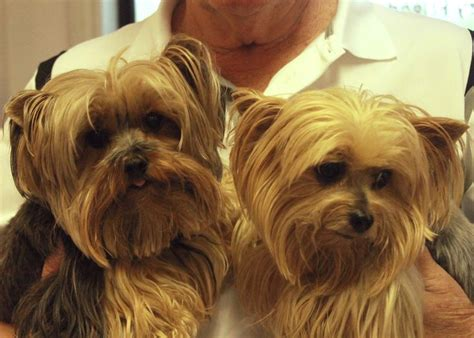 yorkie rescue tulsa 17 best ideas about terrier rescue on yorkie puppies yorkie and