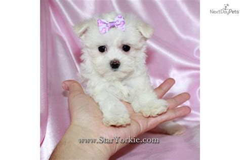 micro teacup maltese puppies for sale teacup maltese puppy
