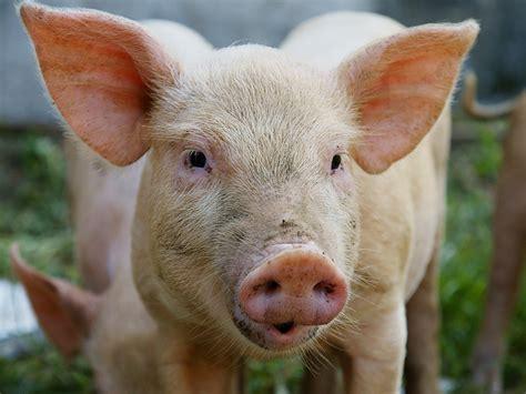 Cmon Ladiesbe Pigs by Pig Human Chimeric Embryos Step To Organ Formation