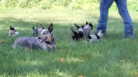 australian cattle for sale blue heeler australian cattle puppies for sale