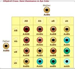 most dominant eye color is it possible for a blue eyed and brown eyed