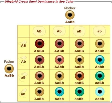 eye color genetics is it possible for a blue eyed and brown eyed