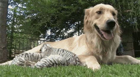 how to take care of golden retriever animal gifs part 101 10 gifs amazing creatures
