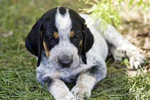 blue tick hound rescue myideasbedroom com