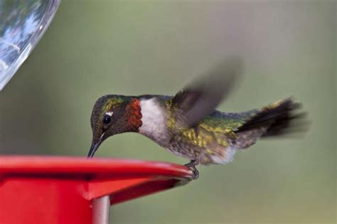 look for migrating hummingbirds houston chronicle