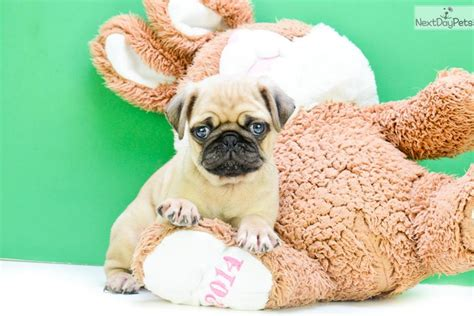 pugs for sale in columbus oh norm pug puppy for sale near columbus ohio 889dc812 fdd1