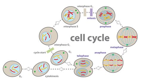 cell cycle diagram diagram of cell cycle interphase choice image how to