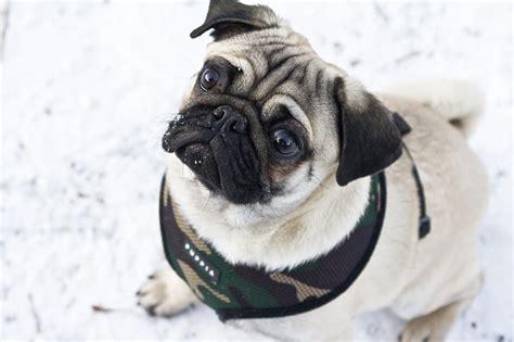 mops pugs pug at snow mops im schnee 2 by hapz86 on deviantart