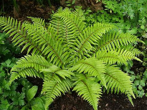 fern facts for kids non flowering plants facts fact about plant