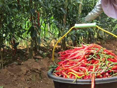 Benih Cabe Merah Kriting Vitra budidaya cabai keriting cara petani curup ngasih