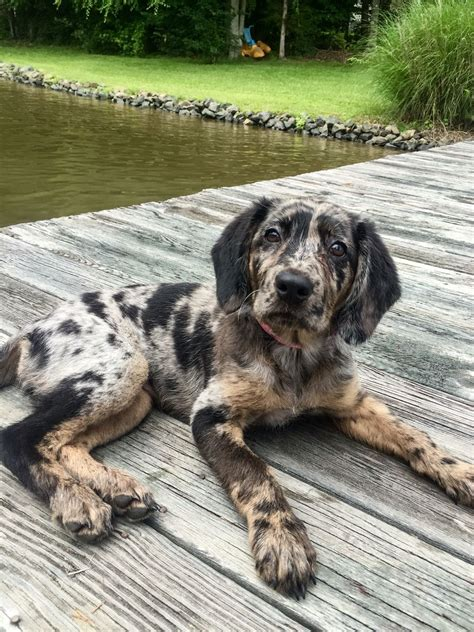 catahoula cur puppies for sale catahoula leopard dogs leopard leopards and