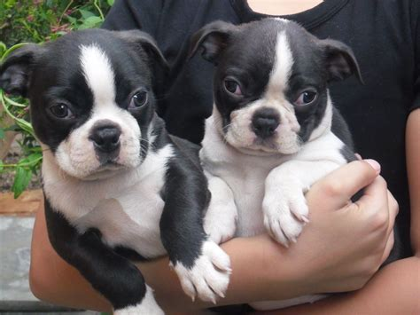boston terrier puppies for sale in oregon boston terriers for sale