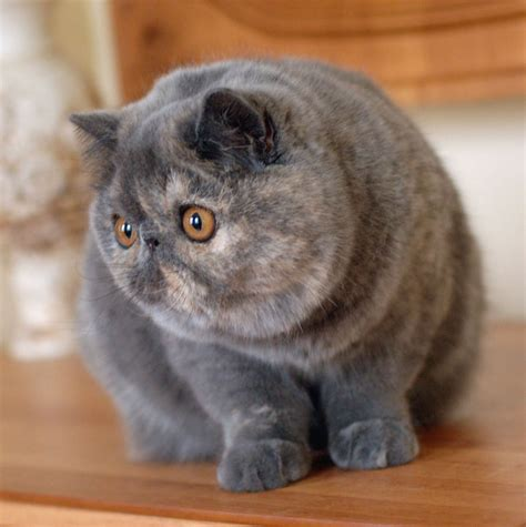 Exotic Shorthair   Cat, Kittens, Facts, Personality