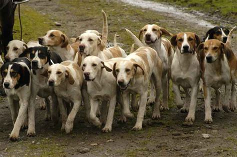 how to a hound to hunt the hounds fraser valley hunt