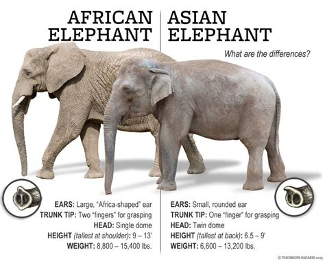african elephant facts thomson safaris africa elephant difference you won t