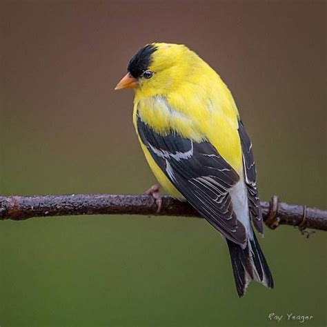 themes goldfinch 17 best ideas about goldfinch on pinterest beautiful