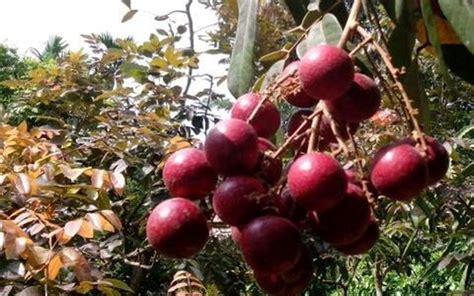 Bibit Kelengkeng Pingpong Merah jual bibit kelengkeng merah di sumatera utara 081333395064