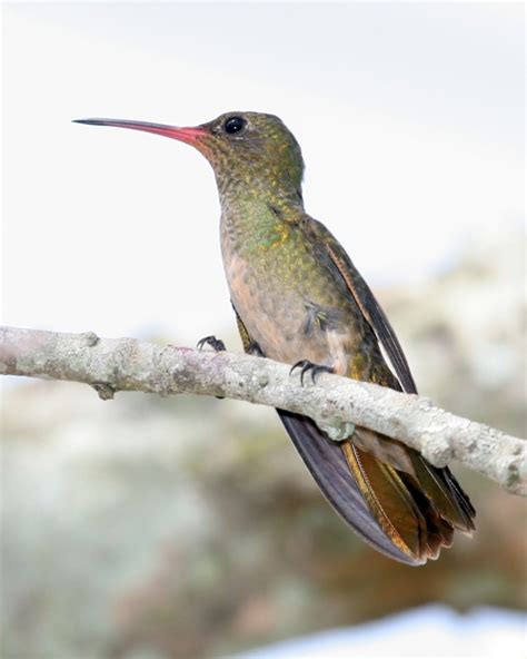 some interesting facts about hummingbirds