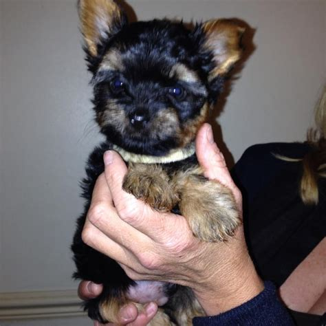 yorkie puppies for sale in alaska pin gorgeous yorkie puppies for adoption sale in akiachak alaska on