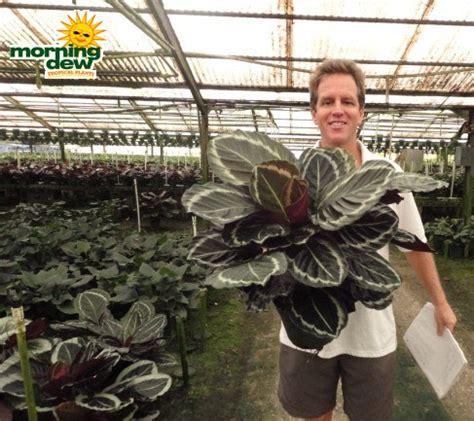 Tanaman Calathea White Fushion Berkualitas calathea morning dew tropical plants