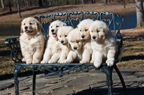 how many puppies are in an average litter how many puppies can a golden retriever onehowto