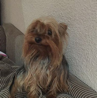 small yorkies for adoption 143 already adopted marmite lives in krugersdorp he is a tiny yorkie looking for
