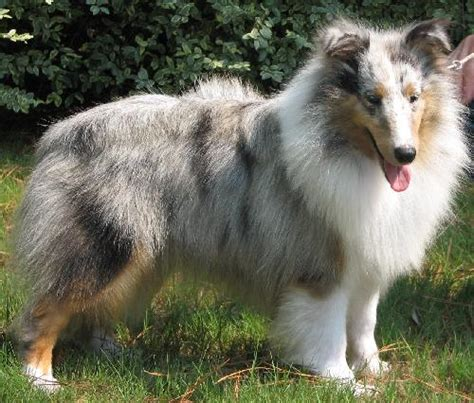 blue merle sheltie puppies sheltie puppies available here