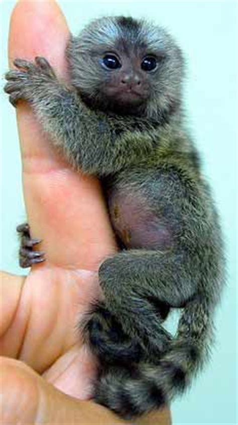 monkeys  sale animal pictures  facts factzoocom