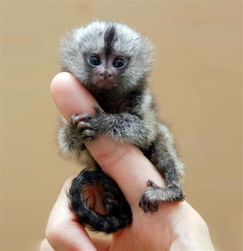 finger monkeys cute and small and ready to be seen