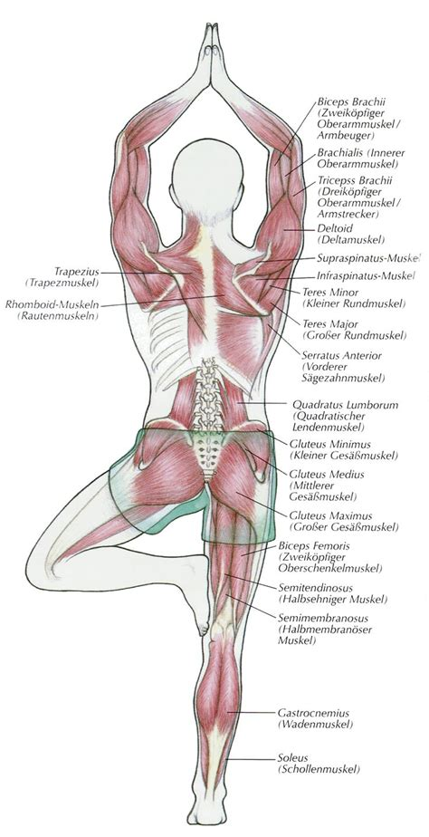2842214420 yoga anatomie les postures yoga anatomy posture de l arbre loved and pinned by