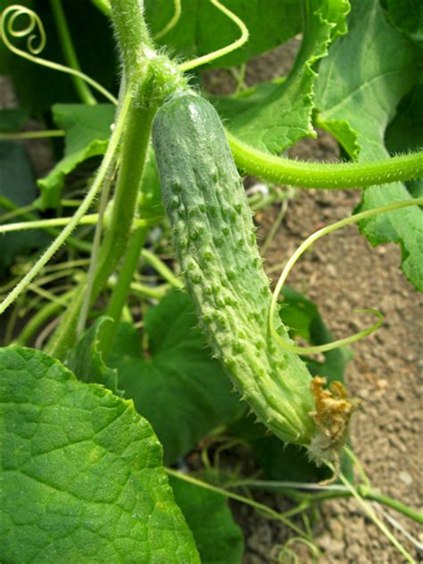 Cucumber Garden by How To Grow Cucumbers Gardenswag