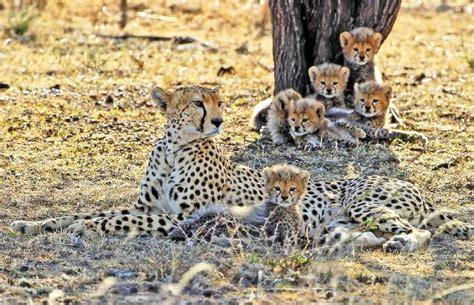 s leopard leopard a majestic predator some interesting facts