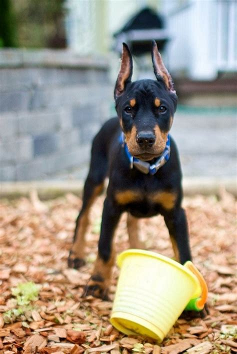 german shepherd puppies for sale in ga craigslist doberman puppy rescue doberman pinscher rescue 27 widescreen wallpaper doberman