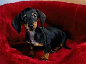 Dachshund Puppies Dachshund Dogs Wallpaper 13073698 Fanpop