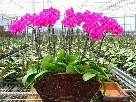 how to grow and care for phalaenopsis orchids world of