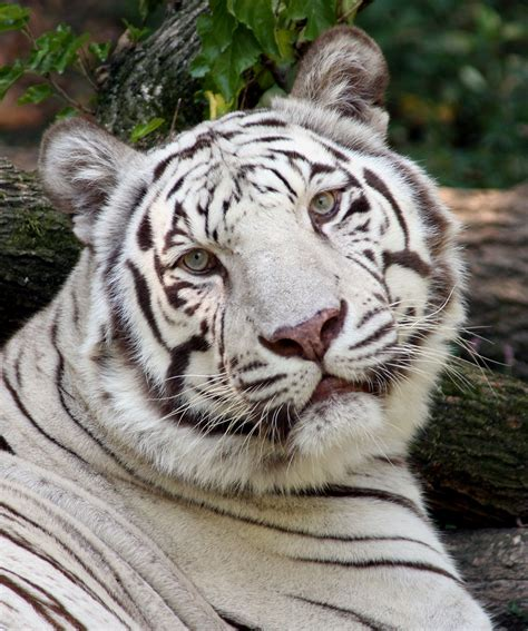 Tiger White pictures tigers
