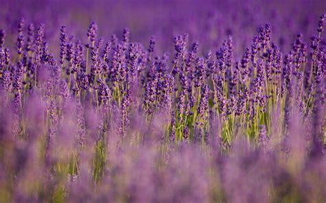 wallpaper flower lavender lavender flower wallpapers wallpaper cave