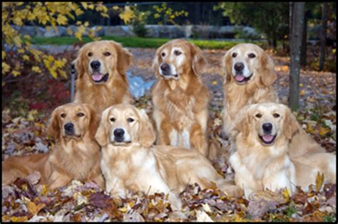 golden retriever puppies montreal golden retriever breeders montreal dogs our friends photo