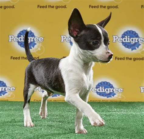 who won the puppy bowl 2017 denver to in puppy bowl 5280