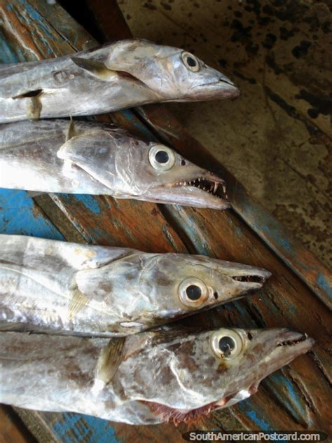 Fish For Shedding by Snake Like Fish With Razor Sharp Teeth In The Fish
