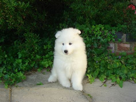 samoyed puppy breeders white samoyed puppies clacton on sea essex pets4homes